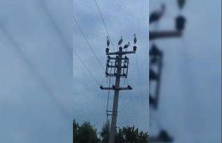 Göç eden leylekler için elektrikler kesildi