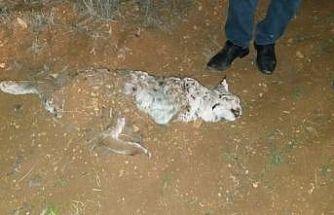 Nesli tehlike altındaki vaşak, av tüfeğiyle öldürüldü