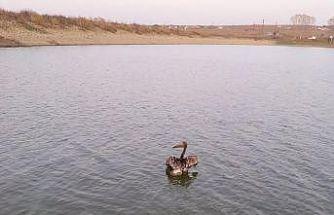 Yaralı Pelikan kurtarıldı