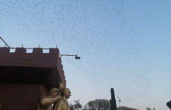 Sığırcık kuşlarından etkileyici gökyüzü dansı