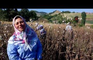 Amasya'da Haşhaş Hasadı Başladı